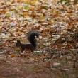 秋のエゾリス