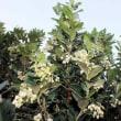 イチゴノキ 苺の木