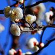 『春の便り』 早梅