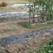 畑、そら豆の播種