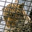 福岡市動物園の豹 140420