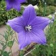 季節の花「合歓の木 (ねむのき)」