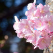 河津桜。。