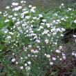 「綺麗だな 野に咲く白い 花と猫」自然川柳