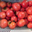 トマトの収穫終盤