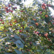 柿は豊作2008