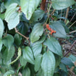 フウトウカズラの赤い実