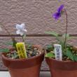 スミレの育て方2018年4月 スミレの花を楽しむ  今年の春最後の花