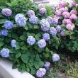 紫陽花(あじさい)の咲き競う頃となりました。