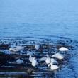 サロマ湖、白鳥がいた(^^♪