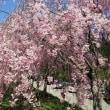 見事なしだれ桜