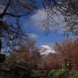 忍野から桜