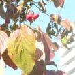 ハナミズキの真っ赤な実