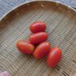 ミニトマト・アイコ初収穫