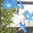 ヘブンリーブルーが咲き始めて