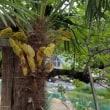 シュロ(棕櫚)の花