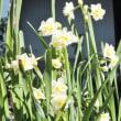 ニホンズイセン 日本水仙 八重房咲き