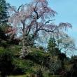 1本桜を楽しむ。(郡山市中田町)