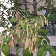 シマトネリコの実とサザンカの花★寒露末候