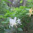 木漏れ日の森のスイカズラと木苺