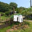 日照りでバテたカボチャ・ヤーコンに水やり(2018/7/16)