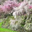 又兵衛桜(滝桜)