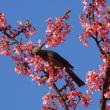 河津桜満開でヒヨドリの群れ・千葉県佐倉市西志津