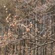 高ボッチ高原・鉢伏山で最近咲いている花 フサザクラ(房桜)