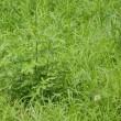 空地(草刈から4週間)カタバミ満開、白い綿毛