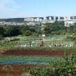 2017年10月18日(水) 保育園のサツマイモ収穫