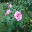 こちらも咲いています。バラのストロベリーアイス