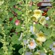 『季節の花』 立葵