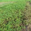 ジャンボ落花生(おおまさり)の収穫