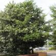 樹木ウォッチング冬から夏へ346ヒメリンゴ1