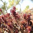ガンコウランの花 Black crowberry