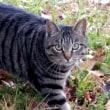 😸ものすごい虎猫…多摩川猫シリーズ