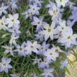 花韮(はなにら)という花
