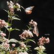 渡りをする蝶-アサギマダラ