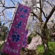 No.732 桜速報 第15号 鏡桜・旧日中線のしだれ桜並木他