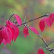 ニシキギの果実と紅葉