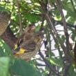 カワラヒワの幼鳥