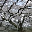 大福寺の枝垂れ桜