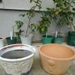 鉢と生協の苗