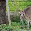 金沢動物園、カンガルーの親子