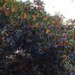 金木犀が咲きました!