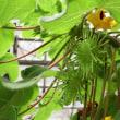 ワンカリナ・グランディディエリの花と実