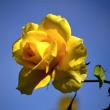 晩秋のバラの写真20枚