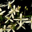 咲きはじめたタカサゴユリ