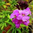 ニオイアラセイトウ(匂紫羅欄花)