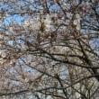 林試公園の桜も開花